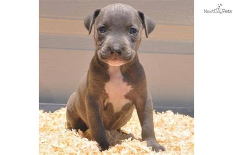 dogs for sale in syracuse ny meet ariel a american pit bull terrier puppy for sale for 1 000 sold to the