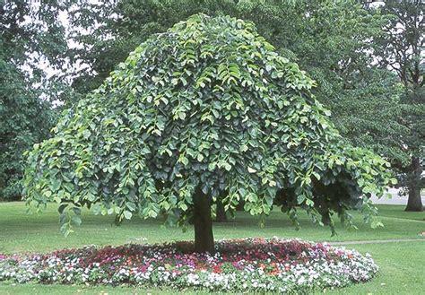 Großen Baum Kaufen 275 by Treurbeuk Kopen Boomkwekerij Ijmeren