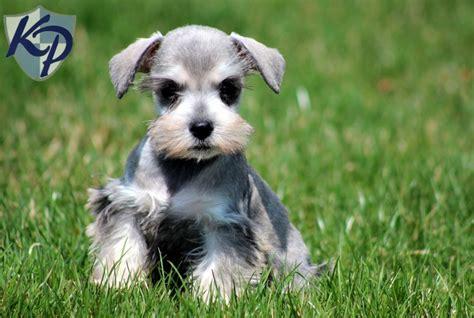 miniature schnauzer puppies for sale in pa bentley schnauzer mini puppies for sale in pa keystone puppies mini