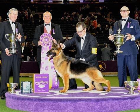 westminster dog show  brings latin breeds   garden