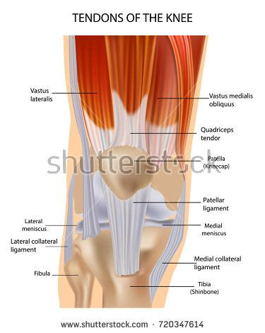 tendons in the knee diagram tendon stock images royalty free images vectors
