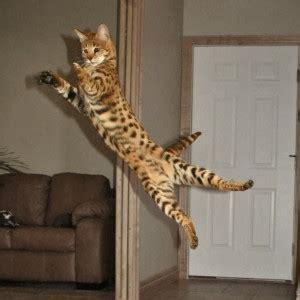 Savannah Kittens Available   Savannah Cat   Select Exotics