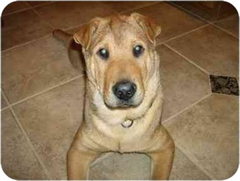 shar pei german shepherd mix puppies leo adopted imlay city mi shar pei german shepherd mix