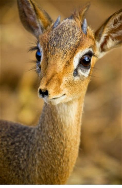antelope symbolism antelope meaning spirit animals