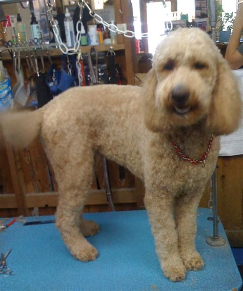 goldendoodle puppy care tips 46 best images about goldendoodle info on