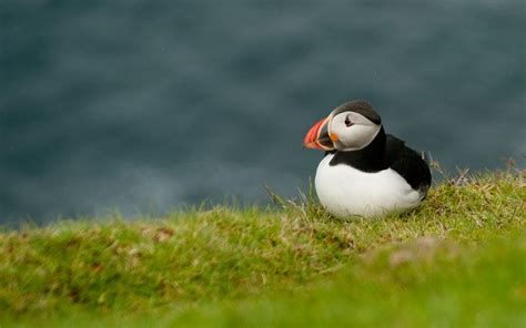 cute baby puffins wallpaper