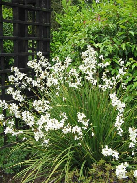 small shrub with white flowers evergreen small white flowers and stems on
