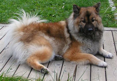 eurasier puppies for sale eurasier puppies for sale by top breeders pets4you