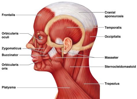 diagram of muscles in the neck and neck muscles diagram anatomy note