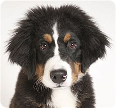 bernese mountain puppies illinois chicago il bernese mountain meet noble a puppy for adoption