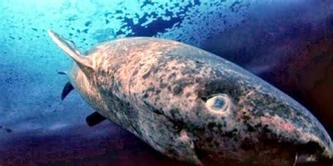 pacific sleeper shark quot treasures quot memorial library