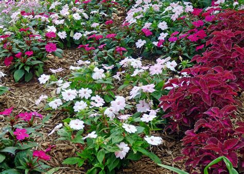 sunpatiens plant care growing sunpatiens plants in the