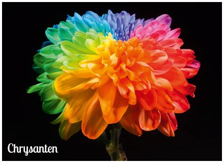 anjers tulpen happy colors home happy colors