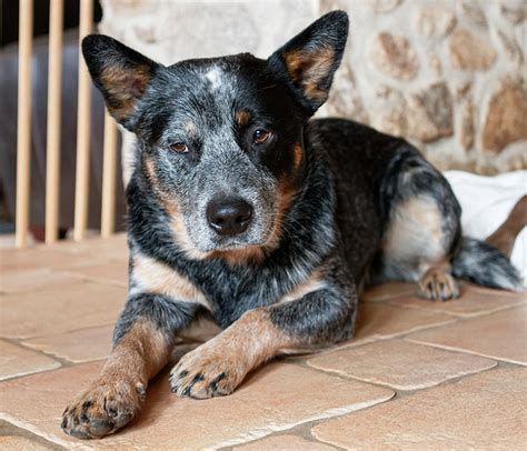 australian cattle colors blue heeler a complete guide to the australian cattle