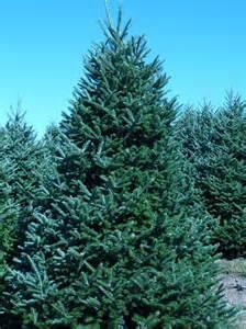 wholesale fraser fir trees