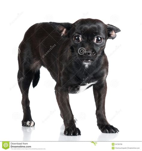 small black puppy scaredlittle black royalty free stock images image 34726799