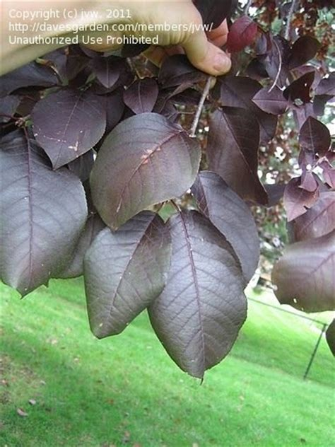 plant identification closed purple leaf tree id 1 by jvw