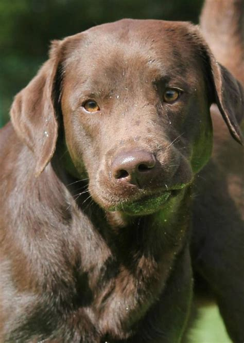 labrador retriever the beginner s guide to your labrador retriever puppy books 17 best ideas about chocolate labrador retriever on