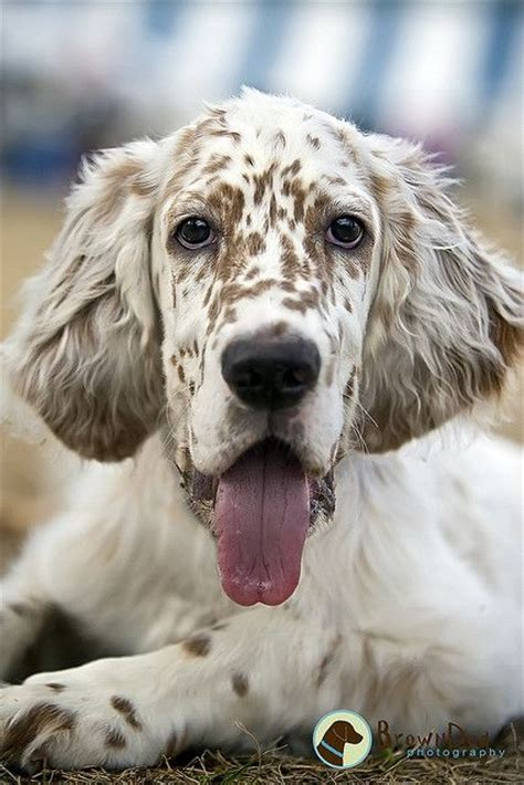 female english setter dog names i am puppys and middle on pinterest