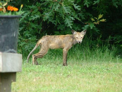 wildlife sickly fox litchfield county ct thriftyfun