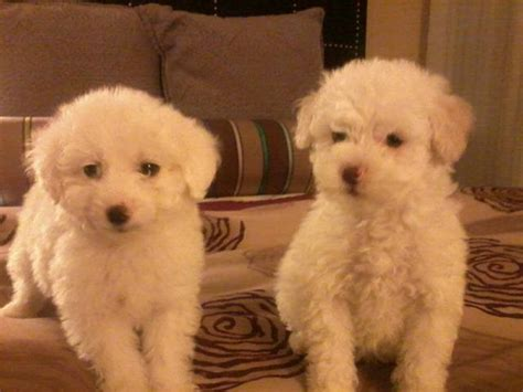 maltipoo puppies for adoption mini maltipoo puppies for sale adoption from antelope