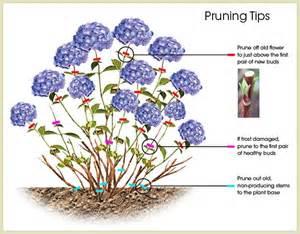 hydrangea care guide willowbrook nurseries