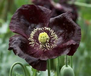 Pictures Of Night Blooming Flowers - poppies black poppy clear mountain garden treasures