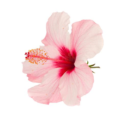 Blakc Reddish Flower S M L 44398 pink hibiscus flower stock image image of white 25685199