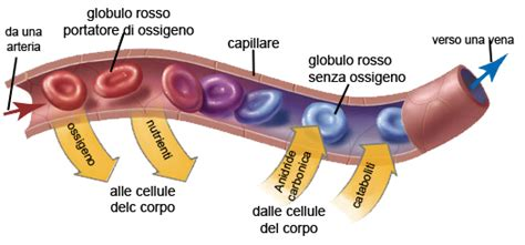 struttura vasi sanguigni apparato circolatorio thinglink