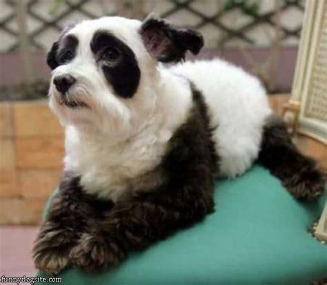 panda puppies panda funnydogsite