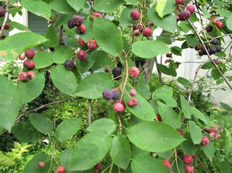 serviceberries or juneberries or sugarplums