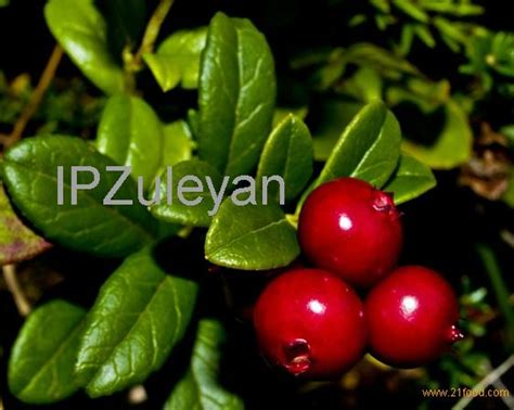 z y fruit company russia cowberry products russia cowberry supplier