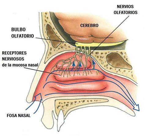 herpes nasale interno nervio olfatorio 191 qu 233 es anatom 237 a ramas patolog 237 as y