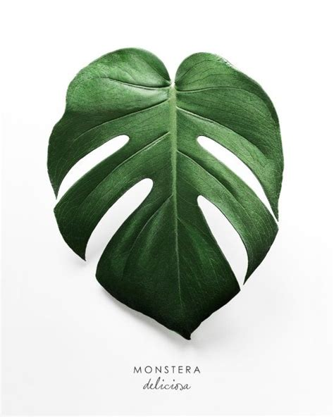 Poster Monstera monstera leaf print monstera deliciosa poster