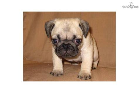 akc pug price akc pug quot odie quot pug puppy for sale near southeast missouri missouri d19f07a0 c471
