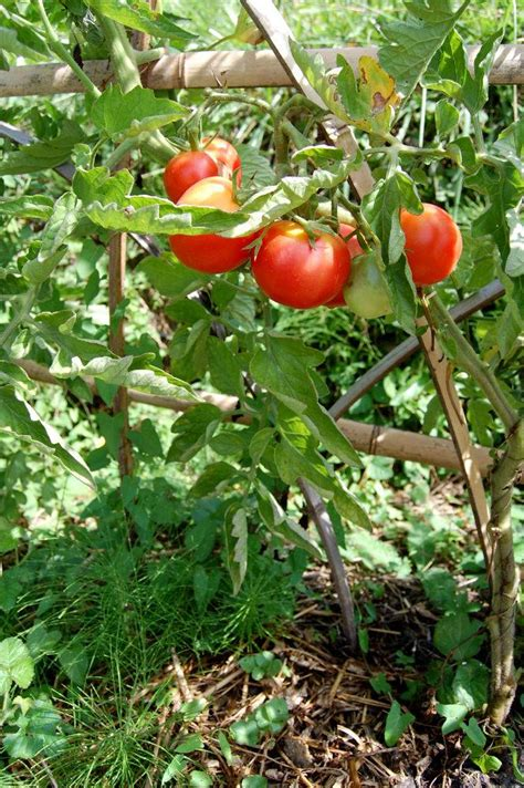 tomates cultiver et r 233 colter des tomates au potager
