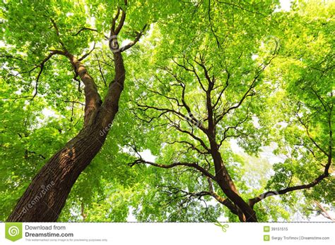 trees with green leaves canopy stock photo image 39151515