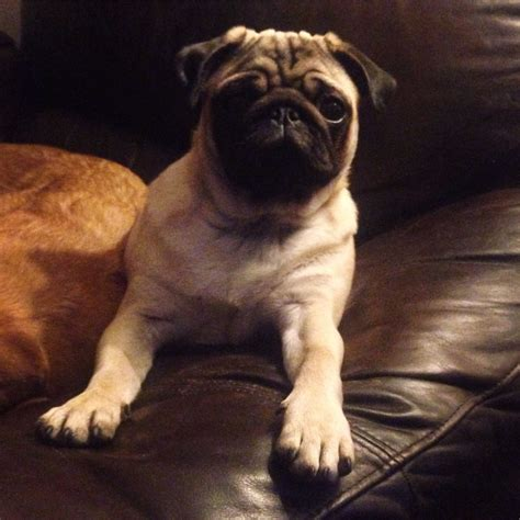 pugs for sale in lincoln 6 month pug for sale lincoln lincolnshire pets4homes