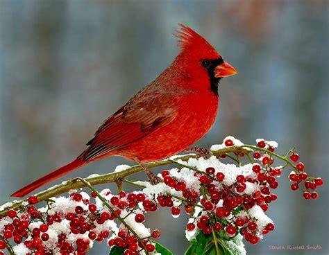 1133 best cardinals my favorite bird images on pinterest