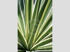 Variegated Agave Americana Cactus Stock Photography ... Yellow Abstract Background