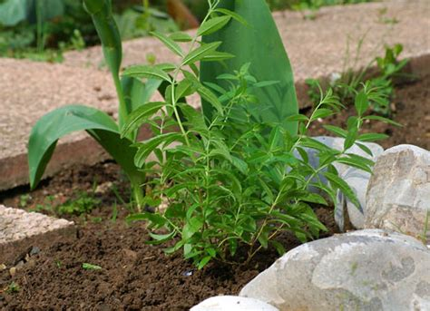 How To Make A Citronella L by La Citronella Nell Orto Citronella In The Garden Orto