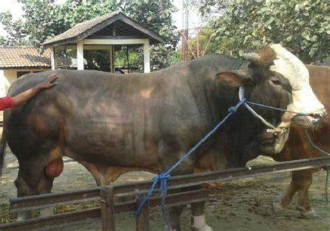 Bibit Sapi Putih cara ternak ayam ternak sapi unggul