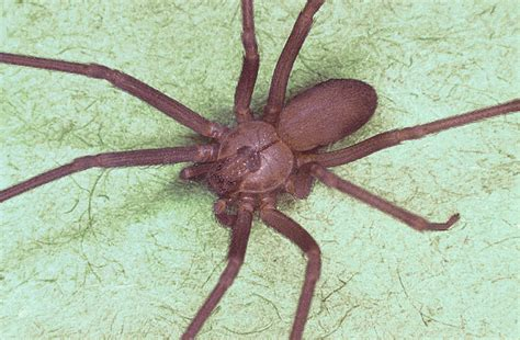brown recluse venom