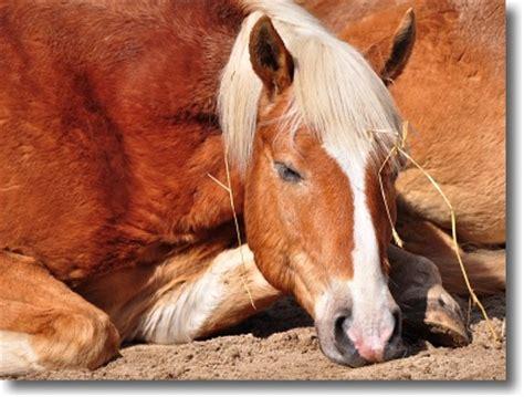 schlafen wie lange pferde schlafen im stehen wege zum pferd