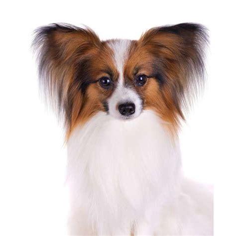 cani d appartamento piccola taglia 20 cani di piccola o media taglia pi 249 aggressivi