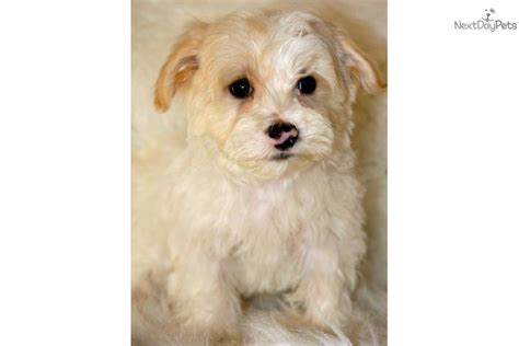 apricot yorkie poo meet chuck a yorkiepoo yorkie poo puppy for sale for 650 apricot
