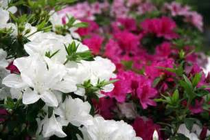 azalea bush colors pruning azaleas how to trim azalea bushes when to trim