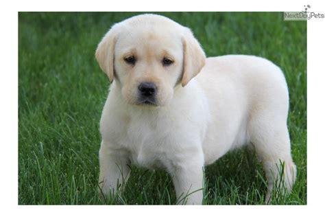 golden retriever puppies new mexico golden retriever puppies albuquerque nm lab puppies breeds picture