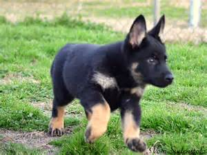 bi color german shepherd bi color or not page 1