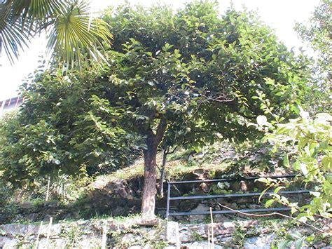 giardini di amaltea alberi di amaltea coatesa sul lario e dintorni